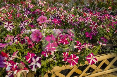 Schön von den rosa, purpurroten, roten und weißen petunien-blumen ...