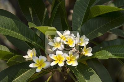 Schön von weißem, rosa plumaria, frangipani-blumen, die draußen ...