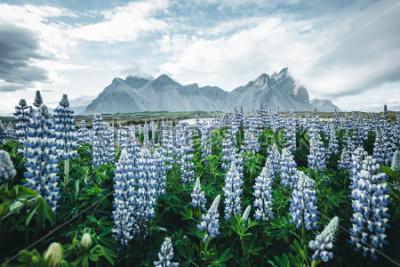 Fototapete Schöne Ansicht des perfekten Lupine blüht am sonnigen Tag. Standort Stokksnes-Kap, Vestrahorn (Batman-Berg), Island, Europa. Wunderbares Bild der Sommernaturlandschaft. Entdecken Sie die Schönheit der