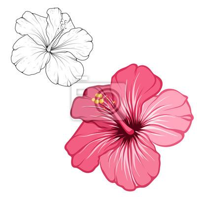 Schöne blühende blume des hibiscus lokalisiert auf weißem ...