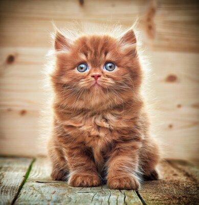 Fototapete Schöne britische lange haare kitten