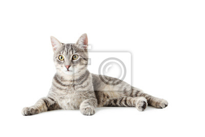 Fototapete Schöne graue Katze isoliert auf einem weißen
