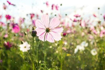 Fototapete Schöne Kosmos-Blume mit Regen