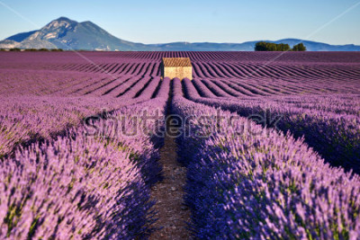 Fototapete Schöne Lavendelfelder und ein altes Haus in der Provence