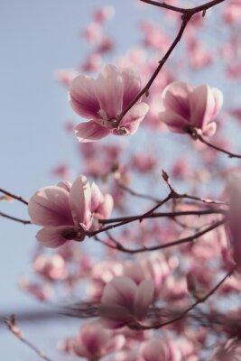 Fototapete Schöne rosa Magnolien blüht