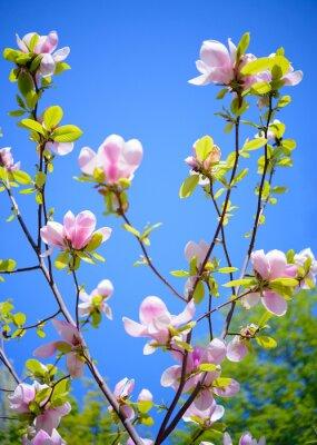 Fototapete Schöne Rosa Magnolien-Blumen auf blauem Himmel-Hintergrund. Frühlings-Blumenbild