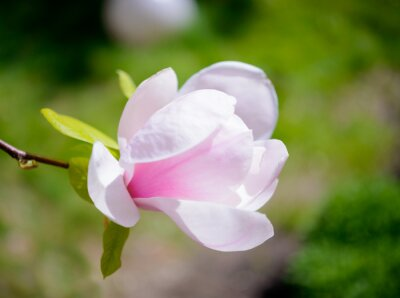Fototapete Schöne Rosa Magnolien-Blumen auf grünem Hintergrund. Frühlings-Blumenbild