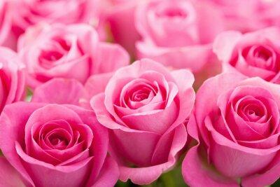Fototapete schöne rosa Rose Blumen Hintergrund
