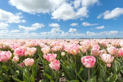 Fototapete Schöne rosa Tulpe Feld in sonnigen Tag