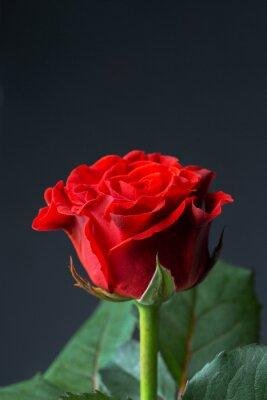 Fototapete Schöne rote Rose
