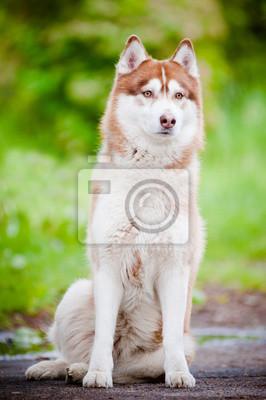 schöne Siberian Husky Porträt