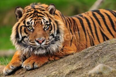 Fototapete Schöne Sumatra-Tiger kauert auf einem Felsen
