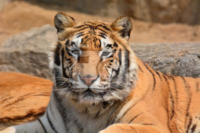 Schöne Tiger-Nahaufnahme