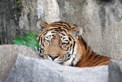 Schöne Tiger Porträt