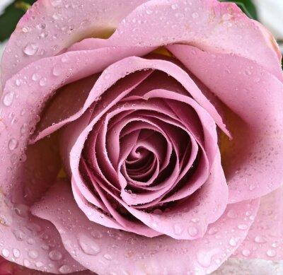 Fototapete Schöne, violette Rose