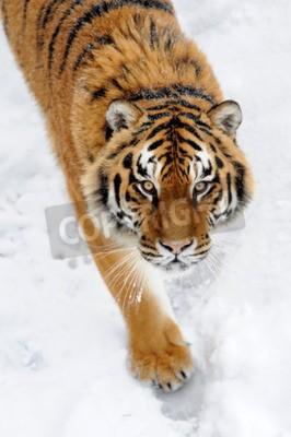 Fototapete Schöne wilde sibirischen Tiger auf Schnee