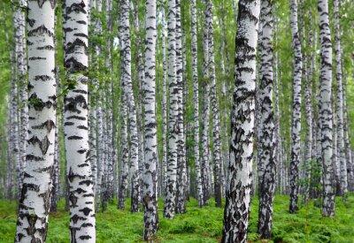 Fototapete schönen Sommer Birkenwald