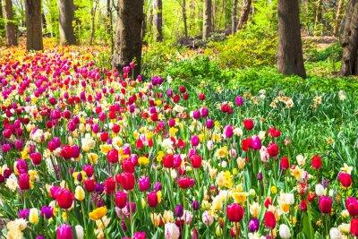 Fototapete Schöner Garten mit blühenden lebhaften Tulpen im Keukenhof Park, Holland