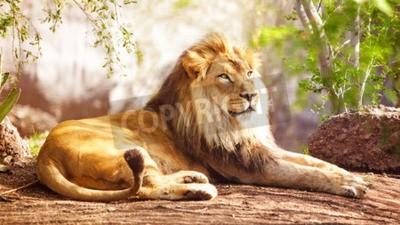 Fototapete Schöner großer afrikanischer Löwe, der mit Bäumen im Hintergrund niederlegt