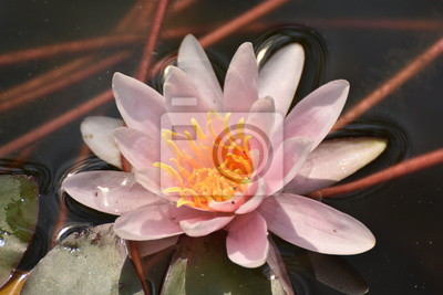 Schöner Lotus Nufar Rote Seerose Wasserblume Fototapete