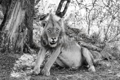 Fototapete Schöner Löwe