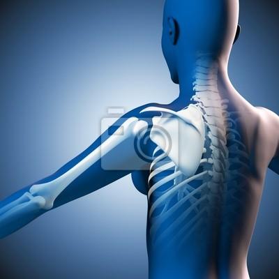 Schulter - anatomie - 3d-grafik fototapete • fototapeten anatomisch ...