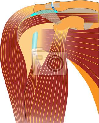 Schultergelenk - anatomie fototapete • fototapeten Vektorgrafiken ...