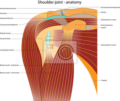 Schultergelenk - anatomie - mit bezeichnung fototapete • fototapeten ...
