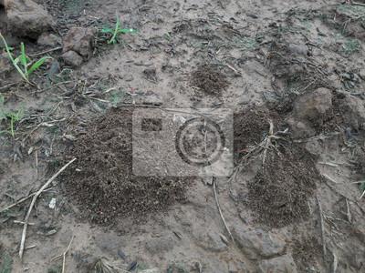 Schuppige Ameise auf dem Boden