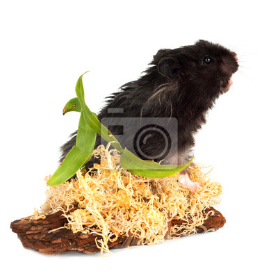 schwarz flauschige Hamster
