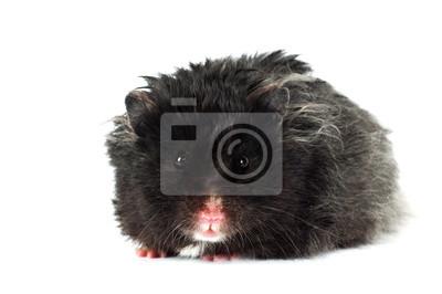 schwarz Hamster portrait isoliert
