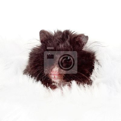 schwarz Hamster Porträt