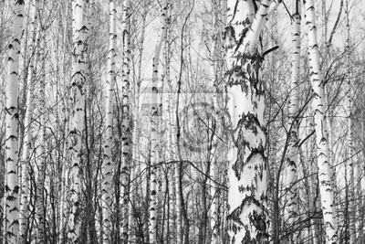 Schwarz Weiss Foto Von Birkenhain Im Herbst Als Schone Schwarz Weiss