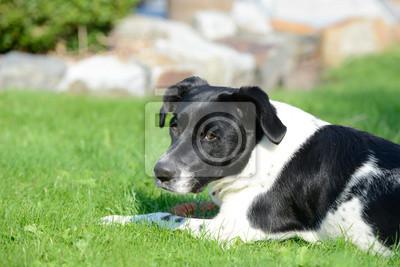 Schwarz Weißer Hund Fototapete Fototapeten Open Air Hund Liegen