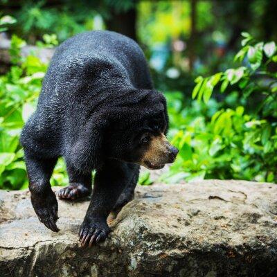 Fototapete Schwarze Bären