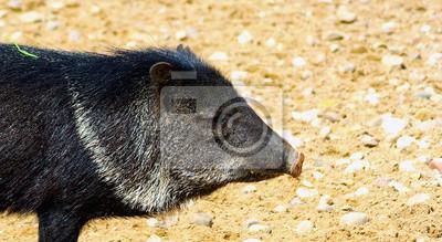 schwarze Schwein in den Sand