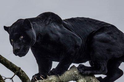 puma schwarz panther