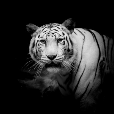 Fototapete Schwarzer u. Weißer Tiger
