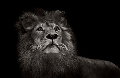 Fototapete Schwarzweiss-Löwe
