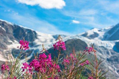 Fototapete Schweizer Apls mit wilden rosa Blüten