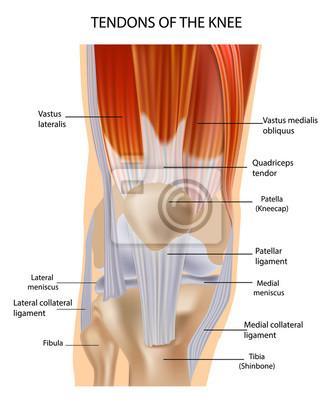 Sehnen an der vorderseite des knies. knie anatomie fototapete ...