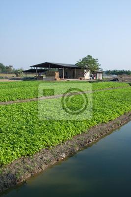 Sellerieanbau in Thailand.