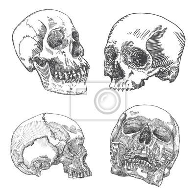 Set anatomische schädel in verschiedene richtungen, verwitterte ...