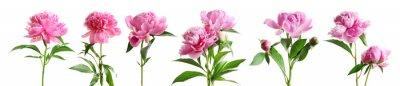 Fototapete Set of beautiful peony flowers on white background