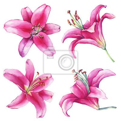 Set, sammlung mit nahaufnahme einer rosa lilien blume. aquarell ...