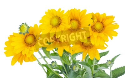 Seven small yellow sunflowers bloom on the July bed. Isolated on white. The photo effect of soft focus is used