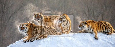 Fototapete Several siberian tigers on a snowy hill against the background of winter trees. China. Harbin. Mudanjiang province. Hengdaohezi park. Siberian Tiger Park. Winter. Hard frost. (Panthera tgris altaica)