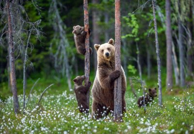 Fototapete She-bear and cubs. Brown bear cubs climbs a tree. Natural habitat. In Summer forest. Sceintific name: Ursus arctos.