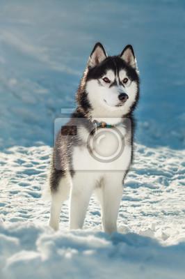 Fototapete Siberian Husky mit braunen Augen im Schnee