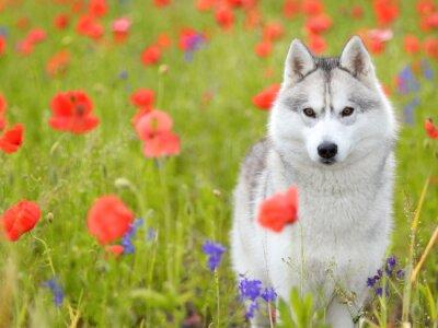 Fototapete Siberian Husky - Mohnblumen